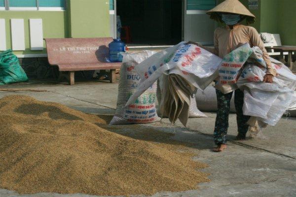 Nông dân với lúa vừa phơi