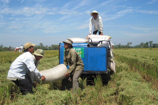 Mua tạm trữ 500.000 tấn gạo lần này vẫn không giúp cải thiện giá lúa gạo. Trong ảnh là nông dân ĐBSCL thu hoạch lúa - Ảnh: Trung Chánh