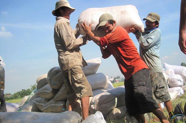 Trong khi tiêu thụ gạo thơm gặp khó khăn, thì thị trường tiêu thụ lúa, gạo IR 50404 khá sôi động ngay đầu năm. Trong ảnh là nông dân Tiền Giang đang thu hoạch lúa - Ảnh: Trung Chánh