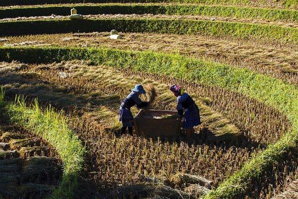 Cảnh gặt lúa của đồng bào dân tộc.